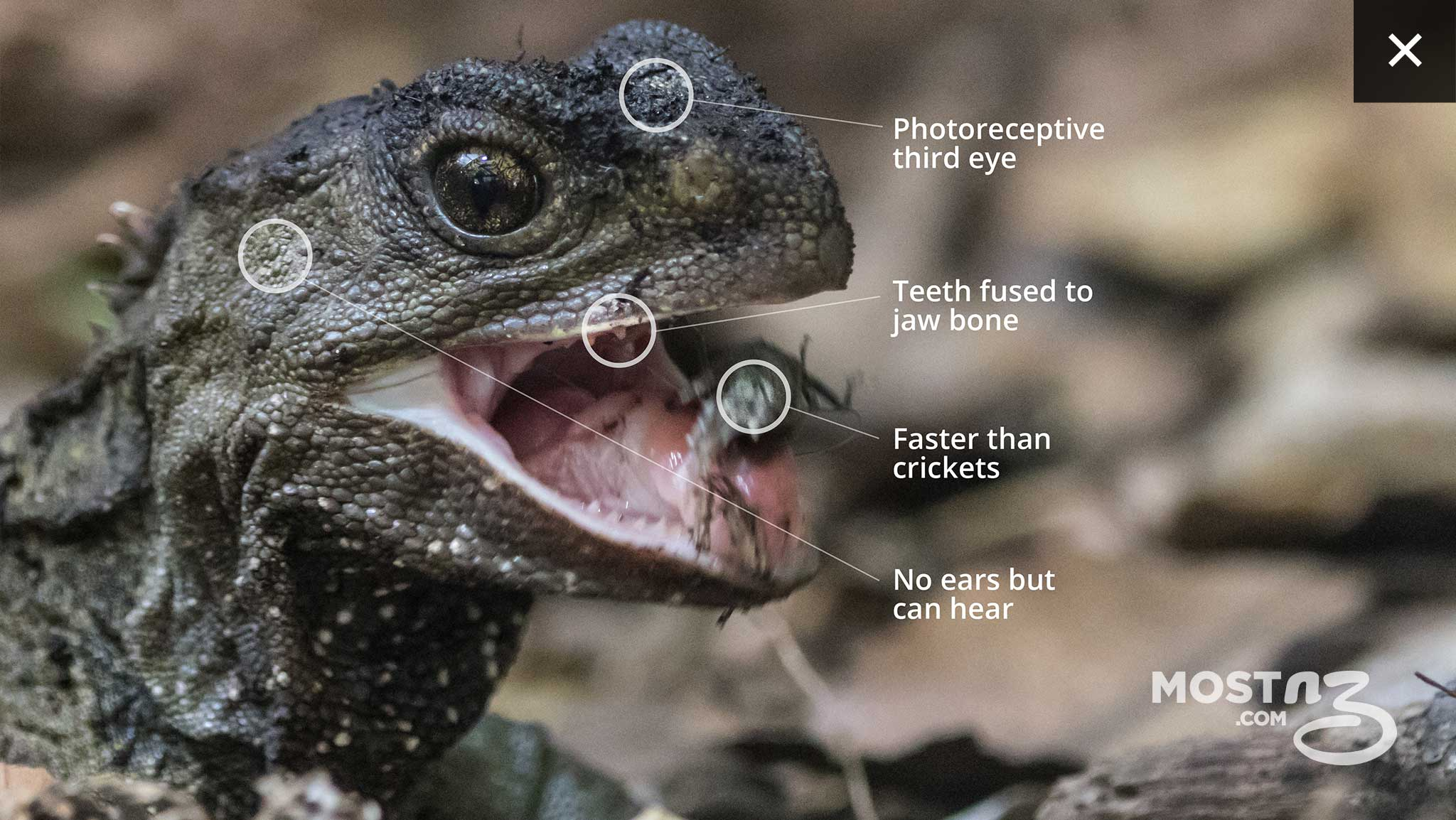 Tuatara Are Even More Unusual Because They Have A Pronounced Photoreceptive Third Eye